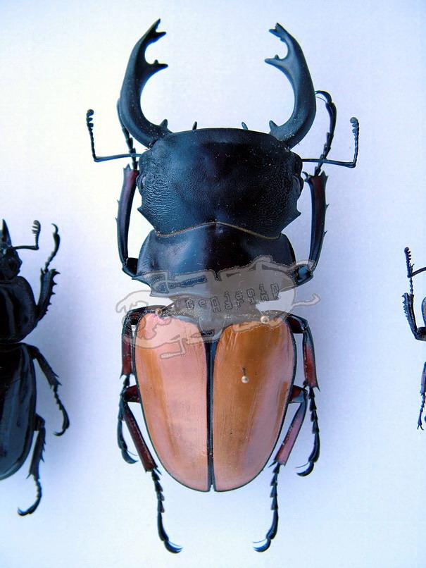 Odontolabis femoralis femoralis