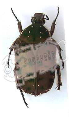 Anelaphinis simillima