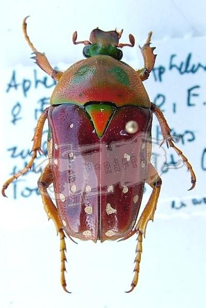 Aphelorrhina tibialis