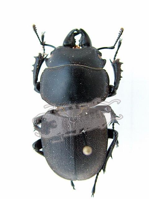 Apterodorcus bacchus