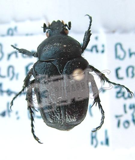 Bricoptis variolisa