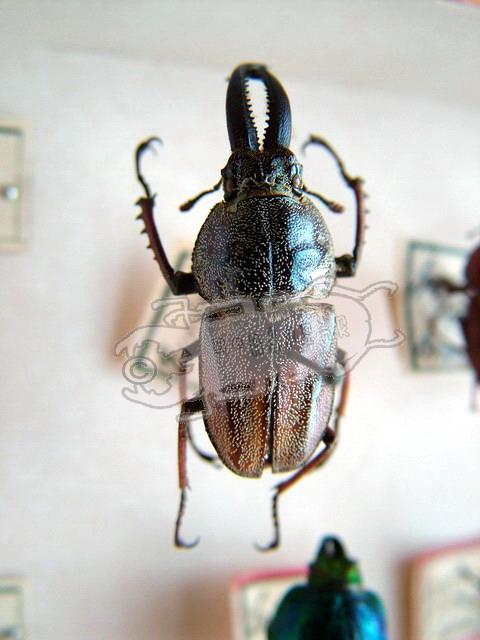 Casignetus humboldti
