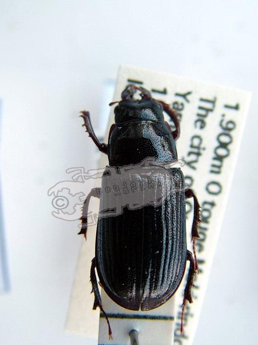 Ceruchus lignarius