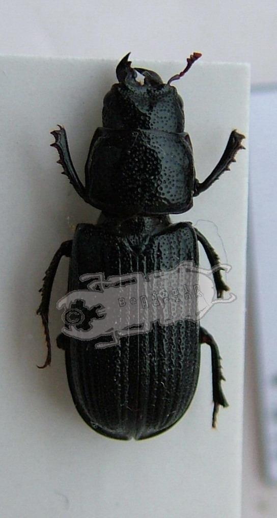Ceruchus striatus