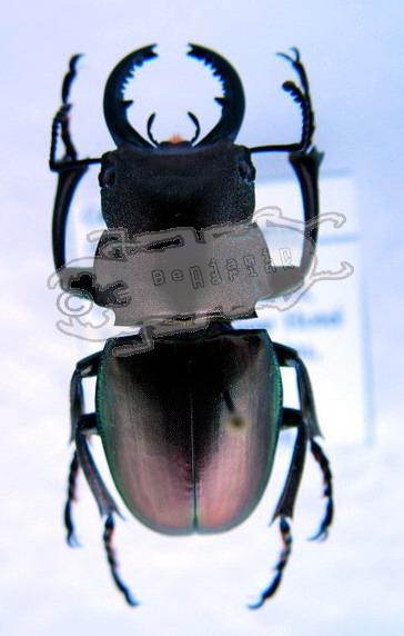 Odontolabis aeratus