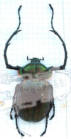 Cheirotonus macleayi formosanus
