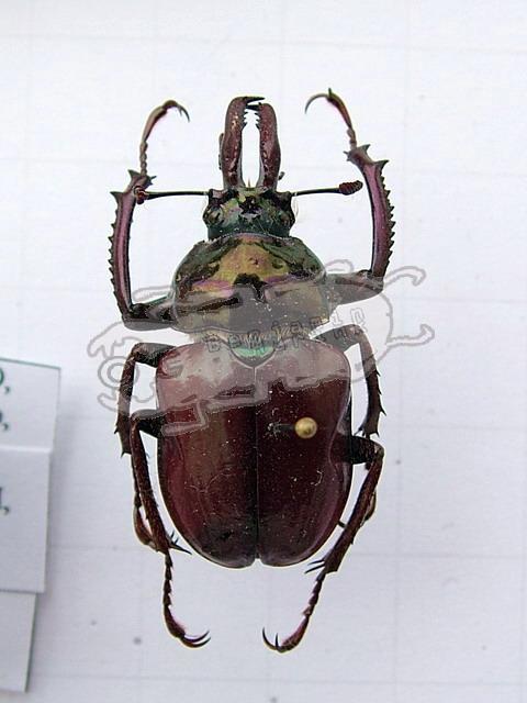 Chiasognathus impubis