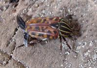 Chordodera quinquelineata