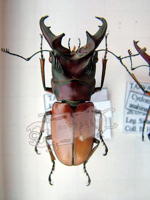 Cyclommatus asahinai