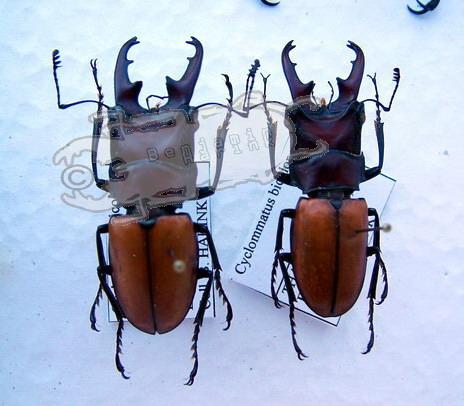 Cyclommatus bicolor