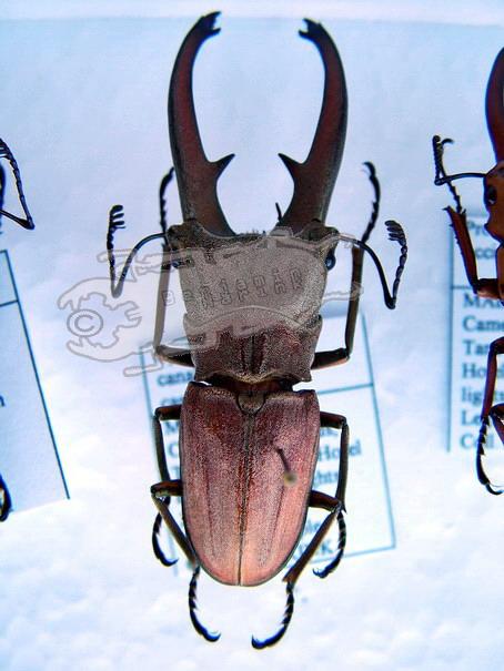 Cyclommatus canaliculatus canaliculatus