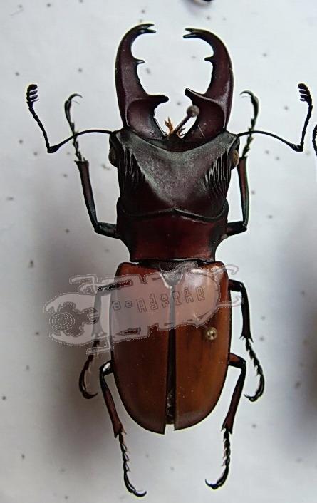 Cyclommatus elsae