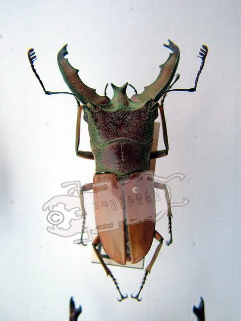 Cyclommatus lunifer
