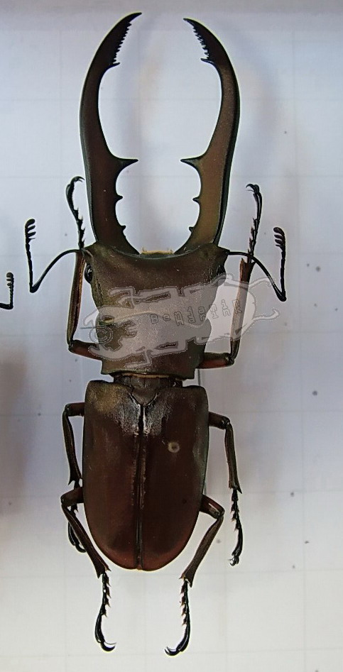 Cyclommatus metallifer aenomicans