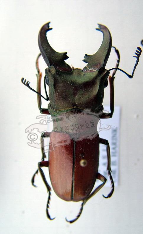 Cyclommatus mniszechi