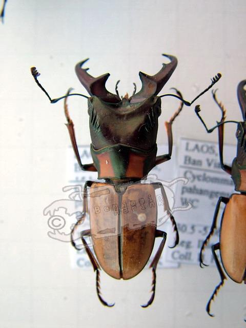 Cyclommatus pahangensis pahangensis