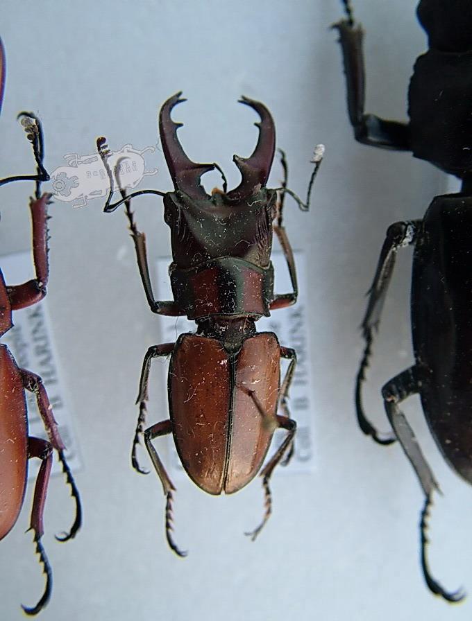 Cyclommatus spec. #3 Tibet