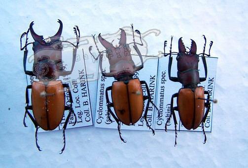 Cyclommatus spec. #1 Thailand