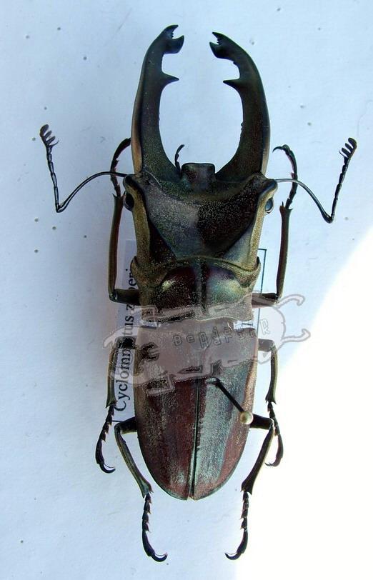 Cyclommatus zuberi