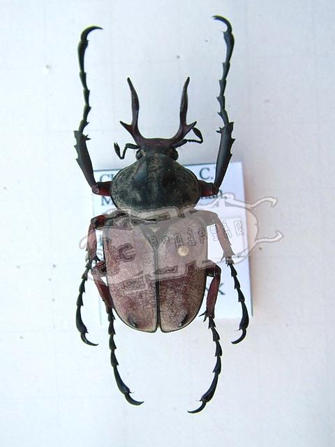 Dicronocephalus adamsi
