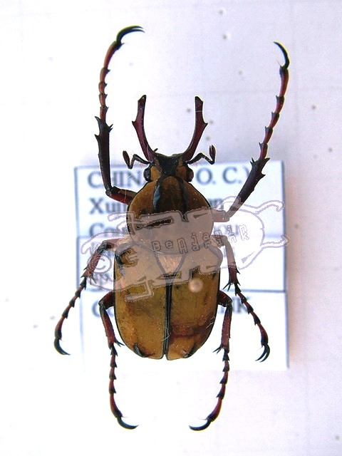 Dicronocephalus spec. undet. China