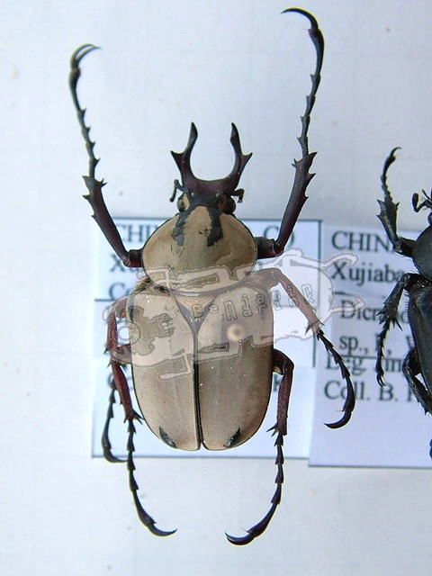 Dicronocephalus spec. undet. #1 China