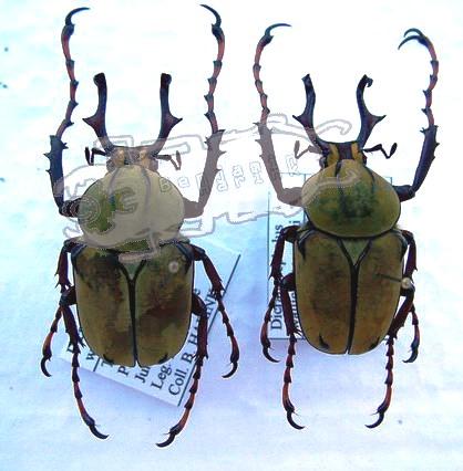 Dicronocephalus wallichi bowringi