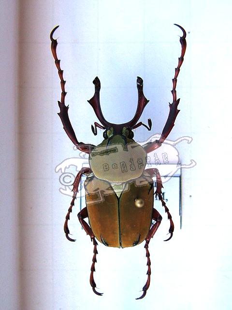 Dicronocephalus wallichi bourgoini