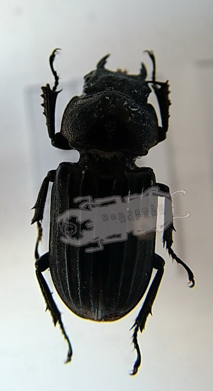 Digonophorus costipennis