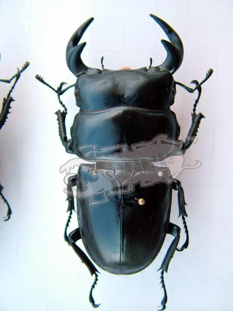 Dorcus antaeus