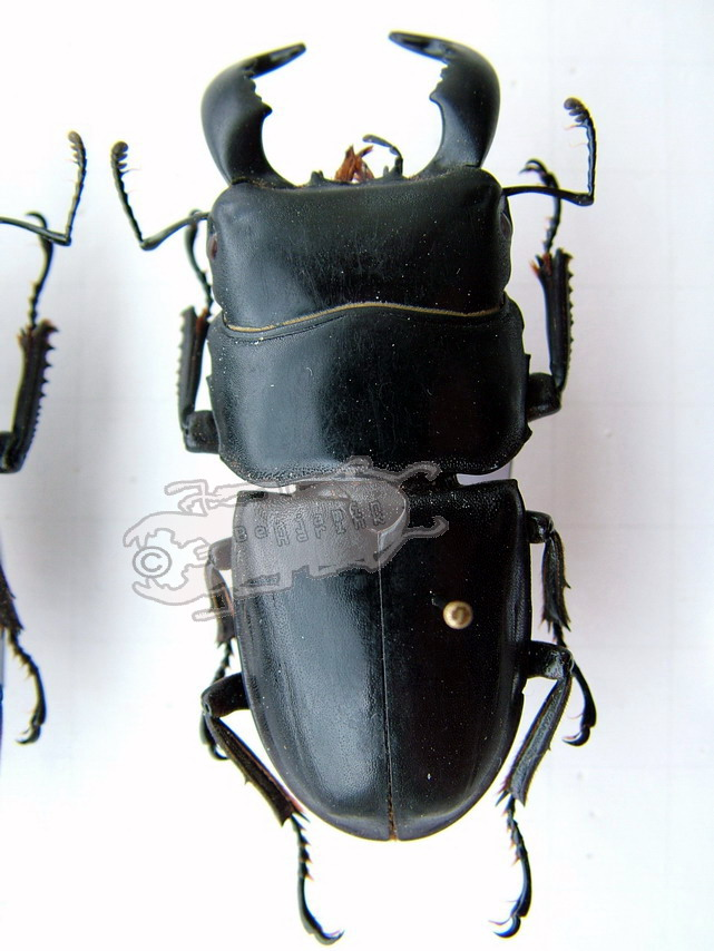 Dorcus bucephalus