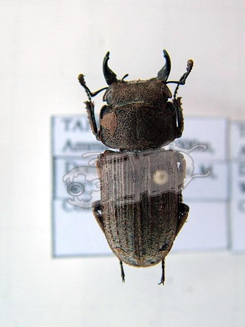Dorcus carinulatus