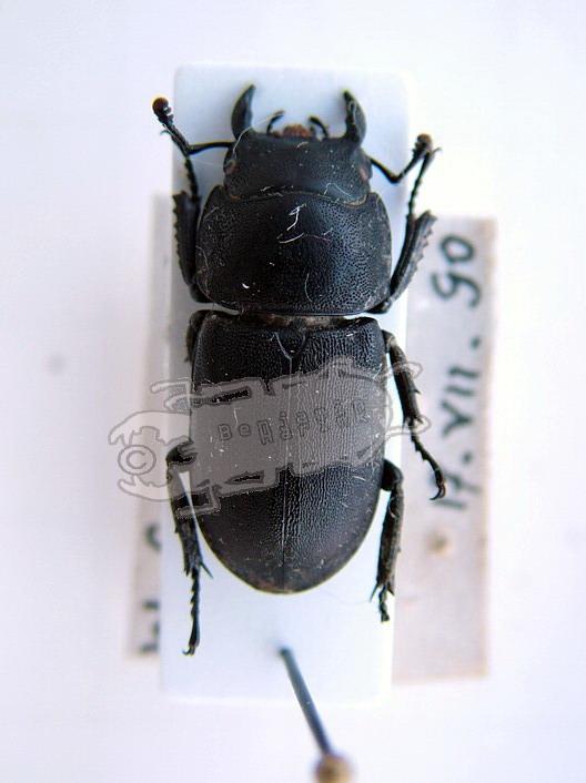Dorcus caucasicus