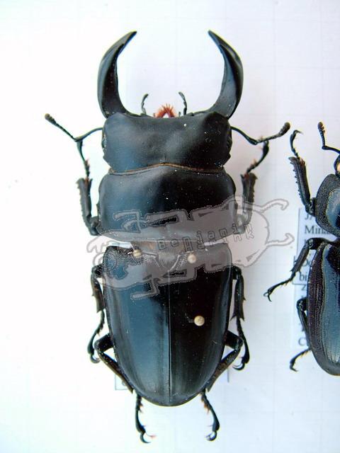 Dorcus curvidens binodulosus