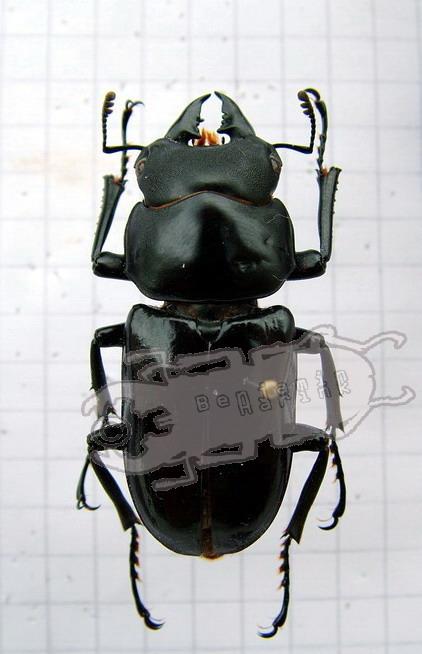 Dorcus derelictus