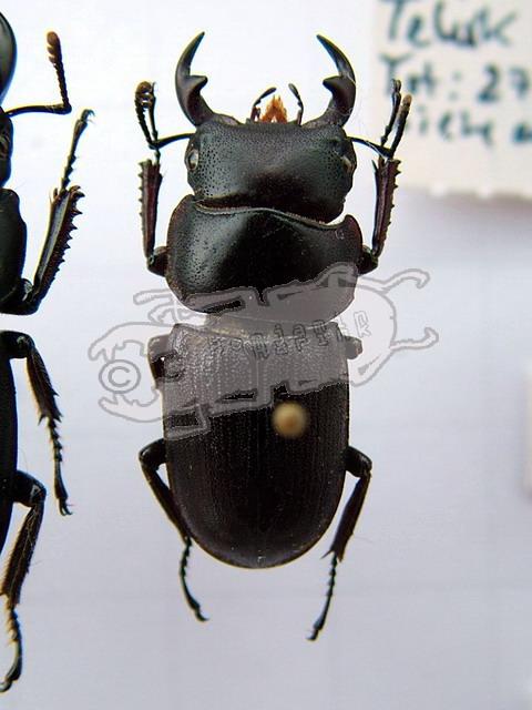 Dorcus gracilicornis