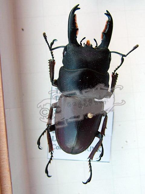 Dorcus thoracicus