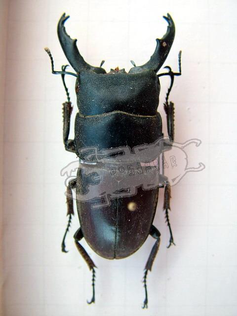 Dorcus taurus cribriceps