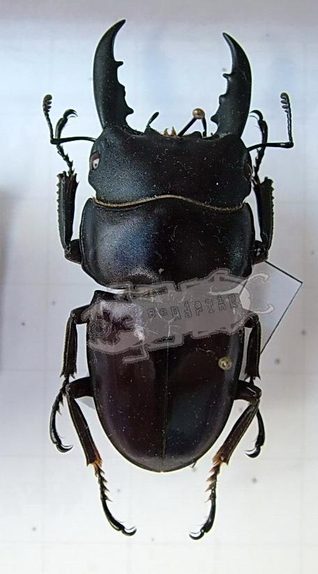 Dorcus ternatensis
