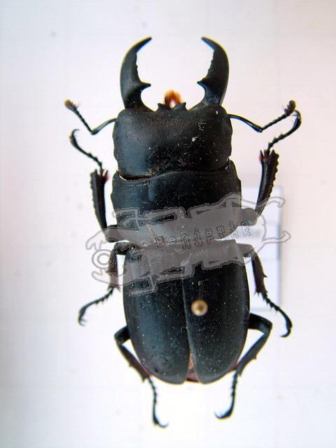 Dorcus titanus pilifer