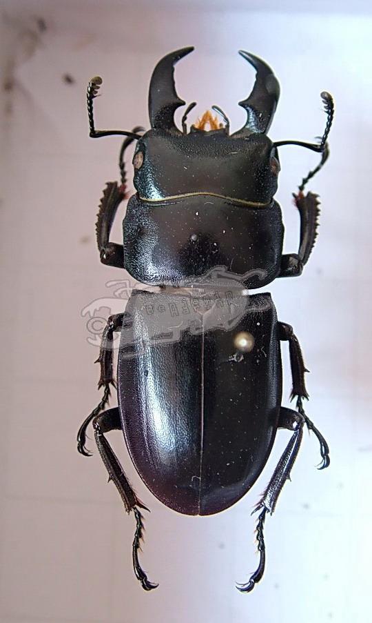 Dorcus titanus ssp. Japan