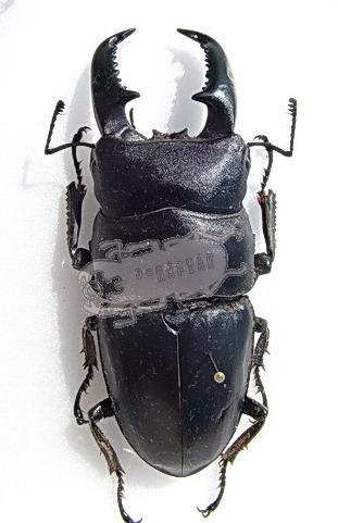 Dorcus titanus ssp. Tibet