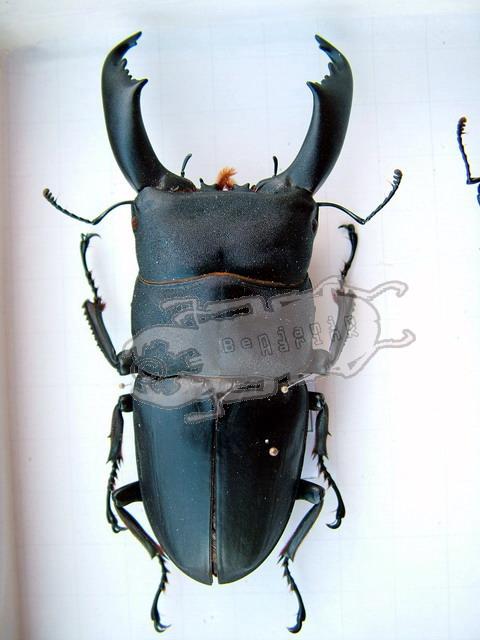 Dorcus titanus titanus