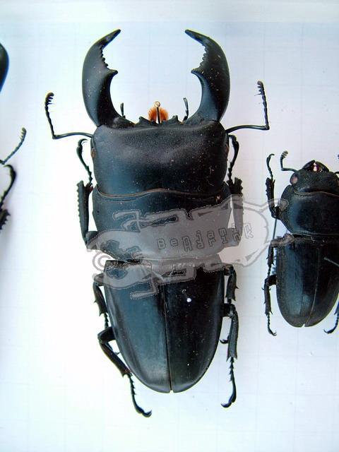 Dorcus titanus westermanni