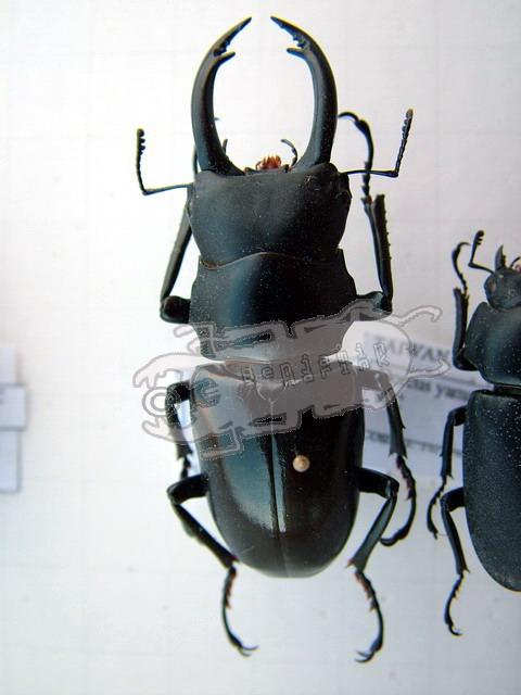 Dorcus yamadai
