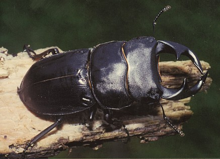 Dorcus grandis formosanus