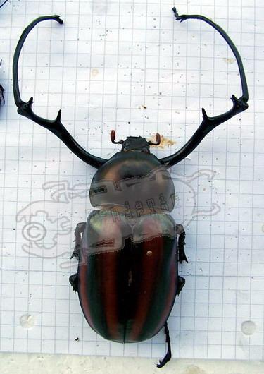 Euchirus dupontianus