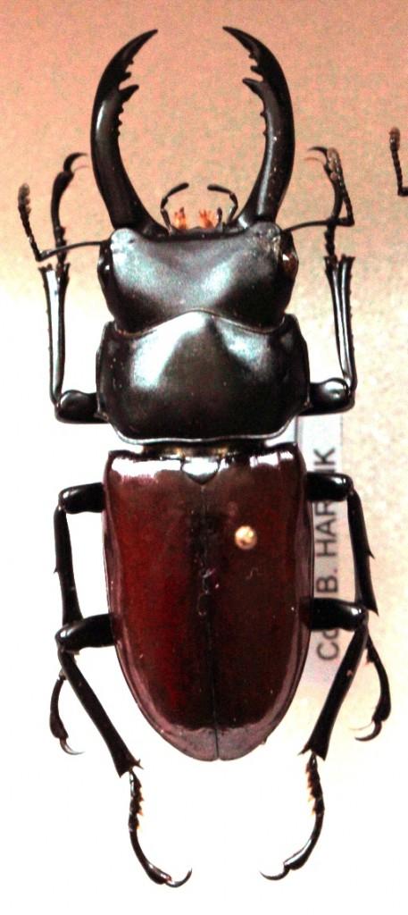 Dorcus arrowi