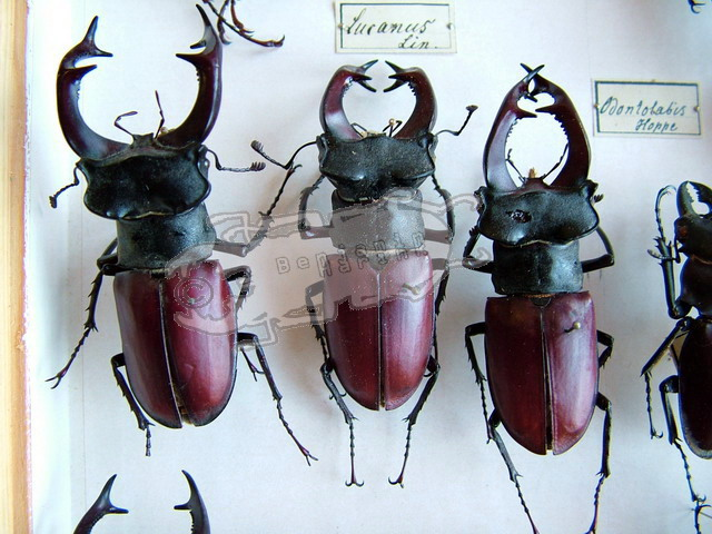 Head and Mandible variations in Lucanus cervus cervus