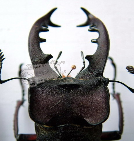 Head and Mandible variations in Lucanus maculifemoratus maculifemoratus from Japan